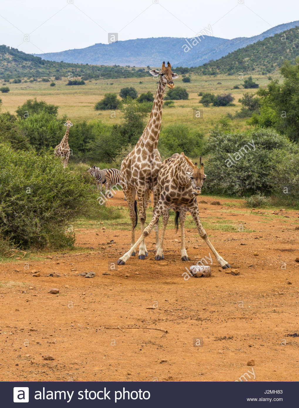 A Giraffe splays its legs to reach a salt-lick in the Pilanesberg National Park. Mineral rich licks are provided - Stock Image