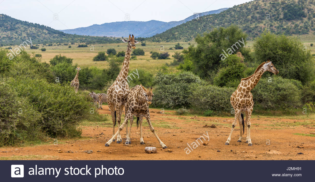 A Giraffe splays its legs to reach a salt-lick in the Pilanesberg National Park. Mineral rich licks are provided Stock Photo
