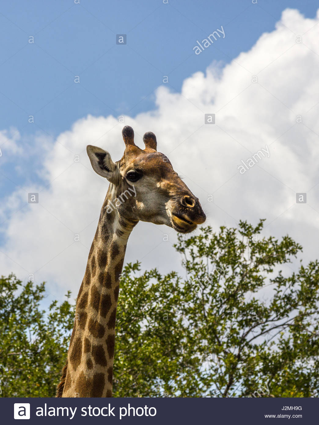 A close-up of a  Giraffe head set against a blue sky with white cumulus clouds. - Stock Image