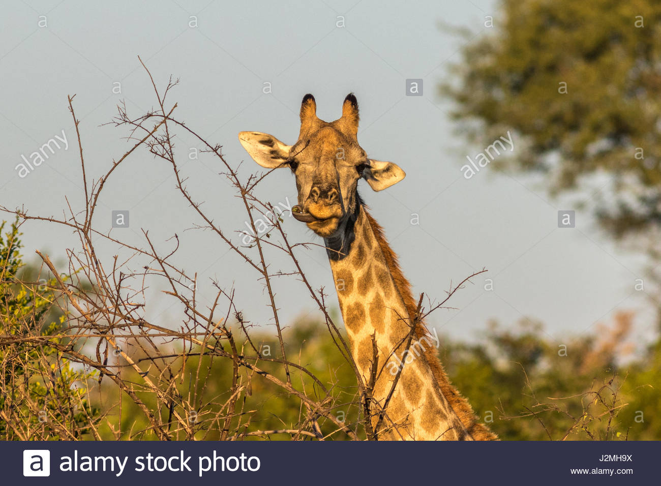 A close-up of a Giraffe head as it wraps its tongue around the leaves of a thornbush. - Stock Image