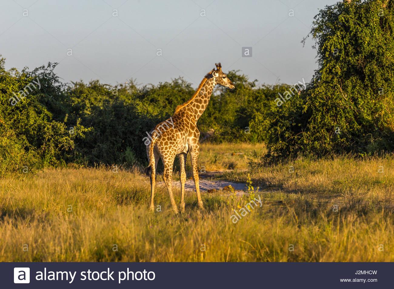 A lone Giraffe in the Chobe National Park, Botswana - Stock Image