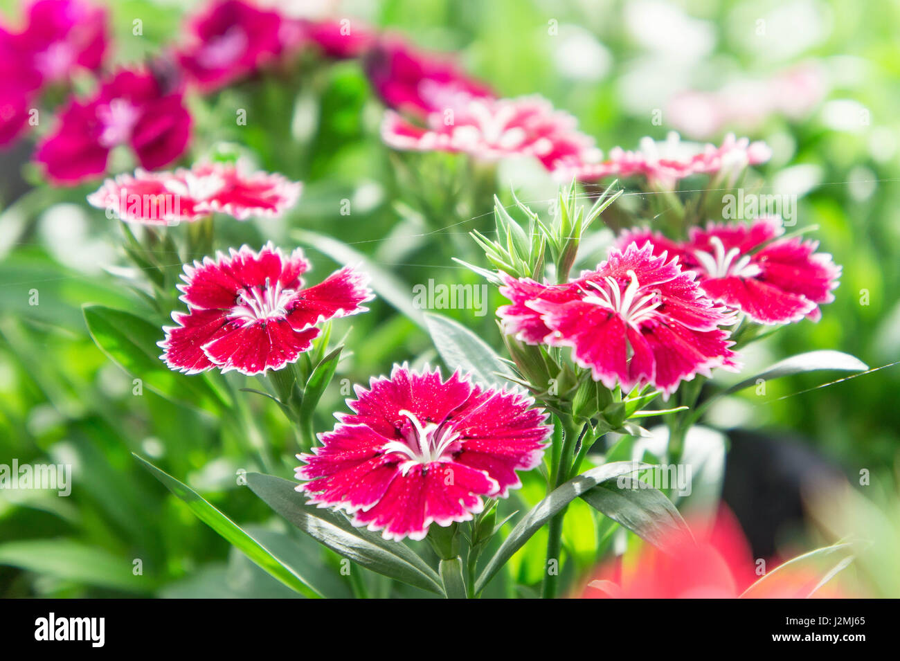 Dianthus flower in the garden beautiful flowers - Stock Image