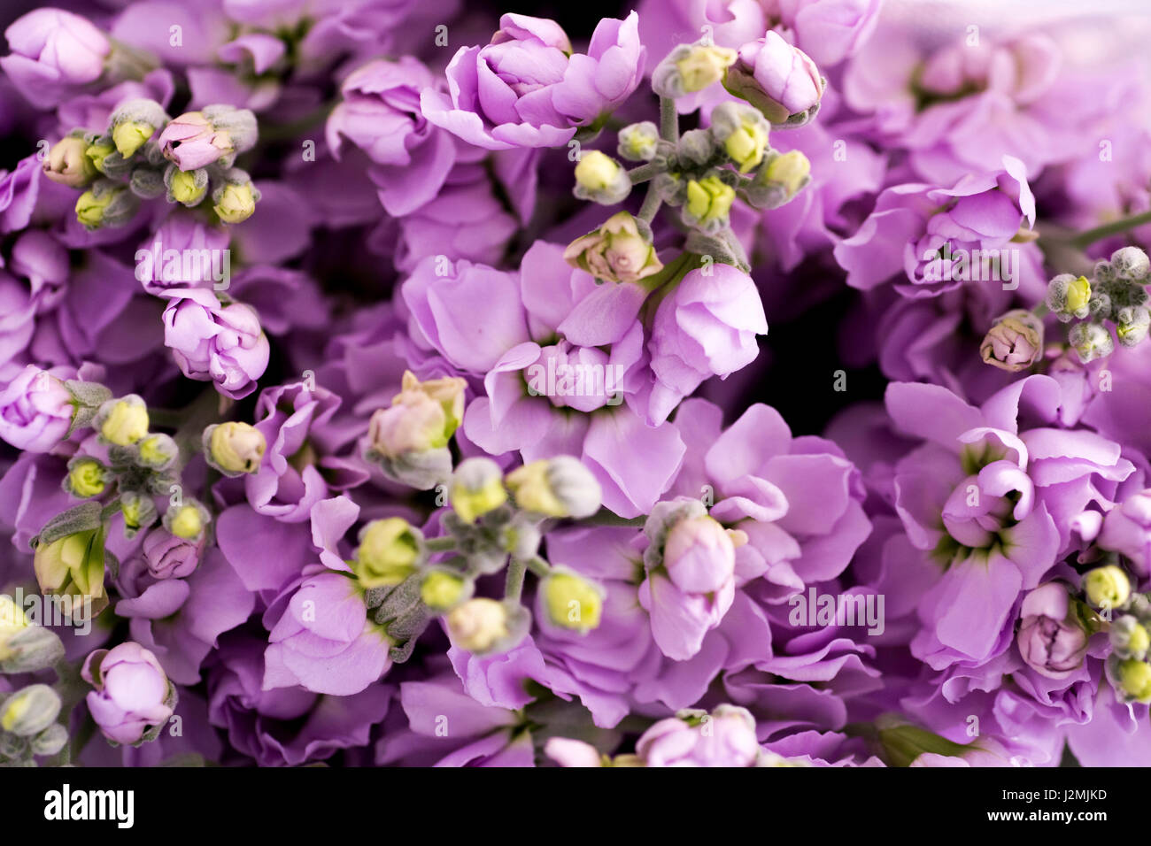 Purple flowers background or textures - Stock Image