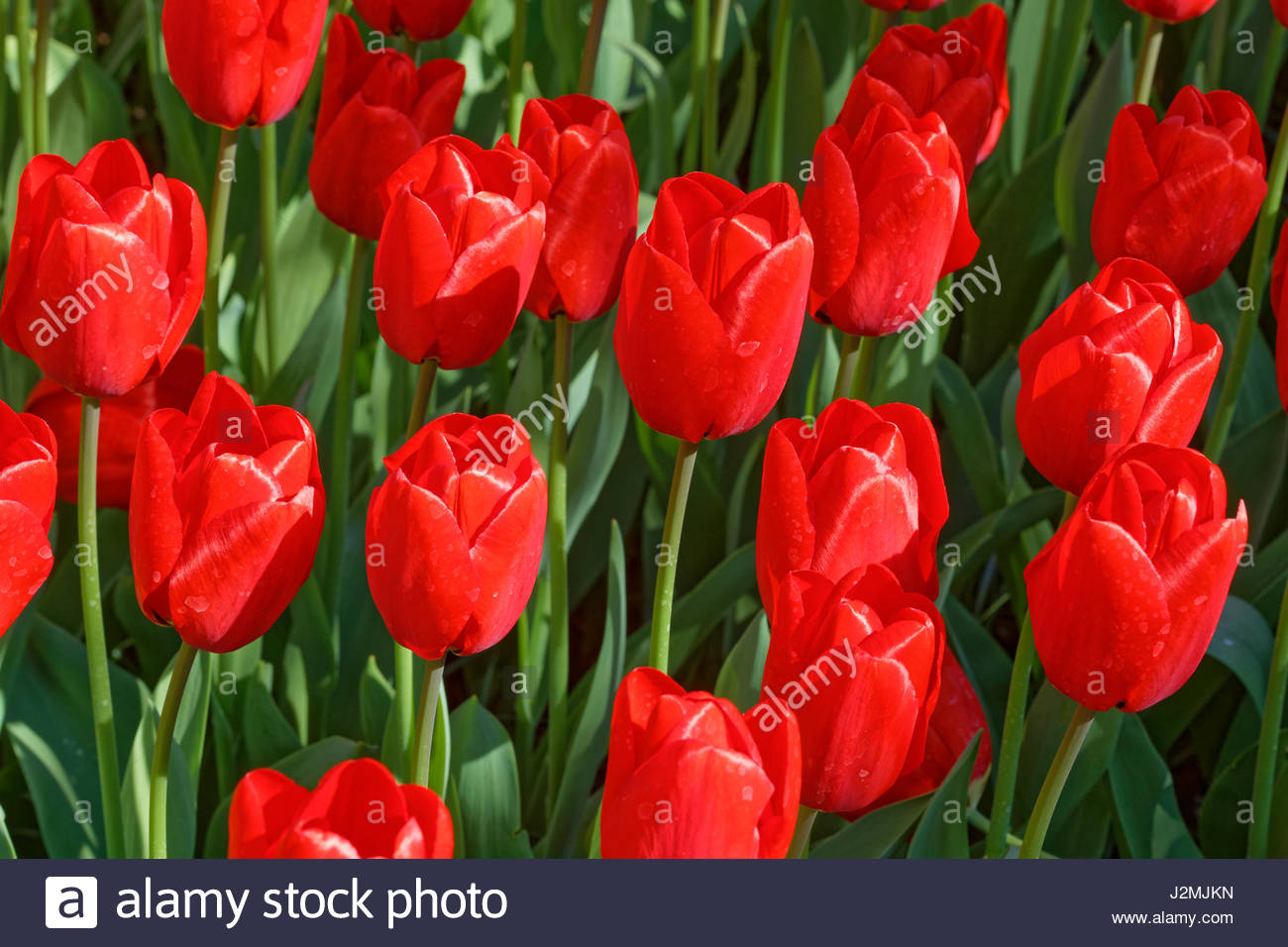 tulips - Stock Image
