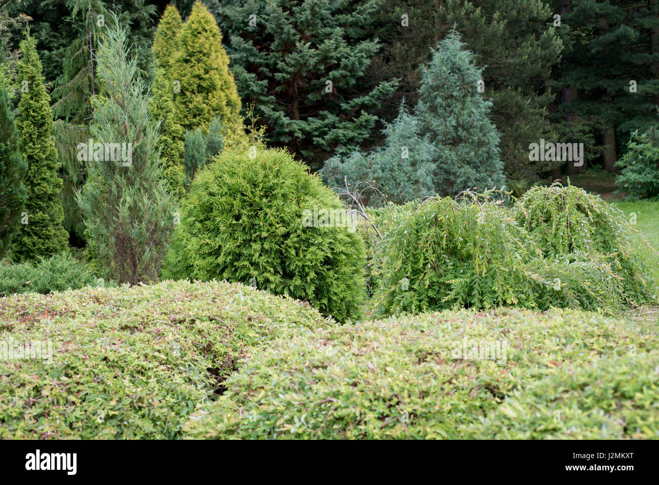 Evergreens in the garden in summer - Stock Image