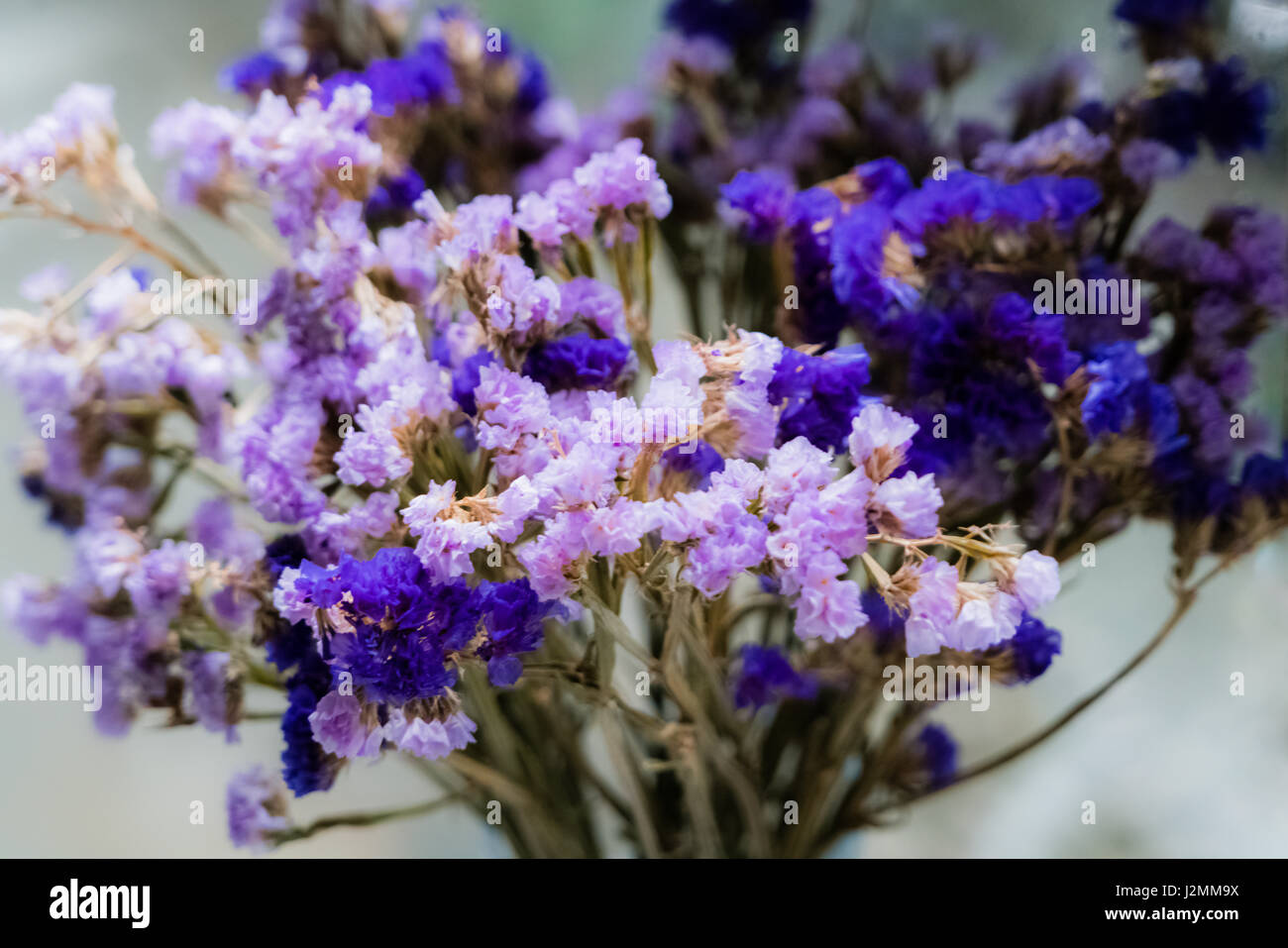 Purple statice flowers - Stock Image