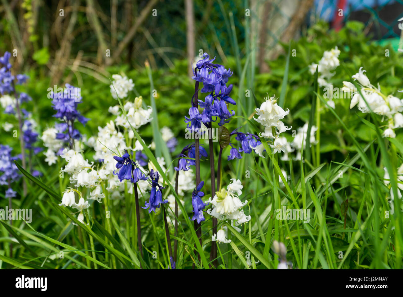 White bell flowers stock photos white bell flowers stock images blue white bell flowers amongst the grass in a garden stock image mightylinksfo