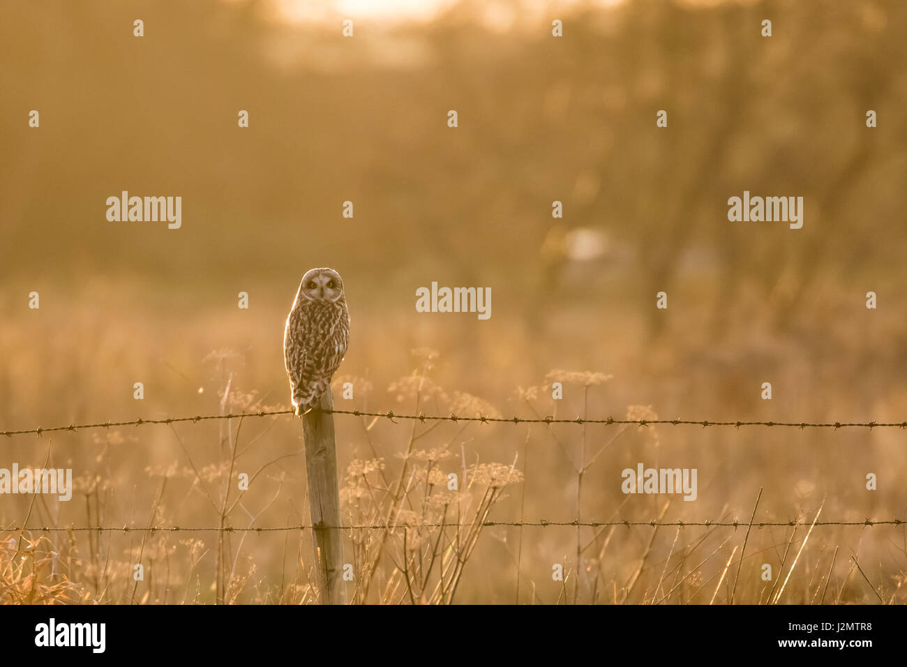 Short-eared Owl (Asio flammeus) perched on a barbed-wire fence post in winter sunset - Stock Image