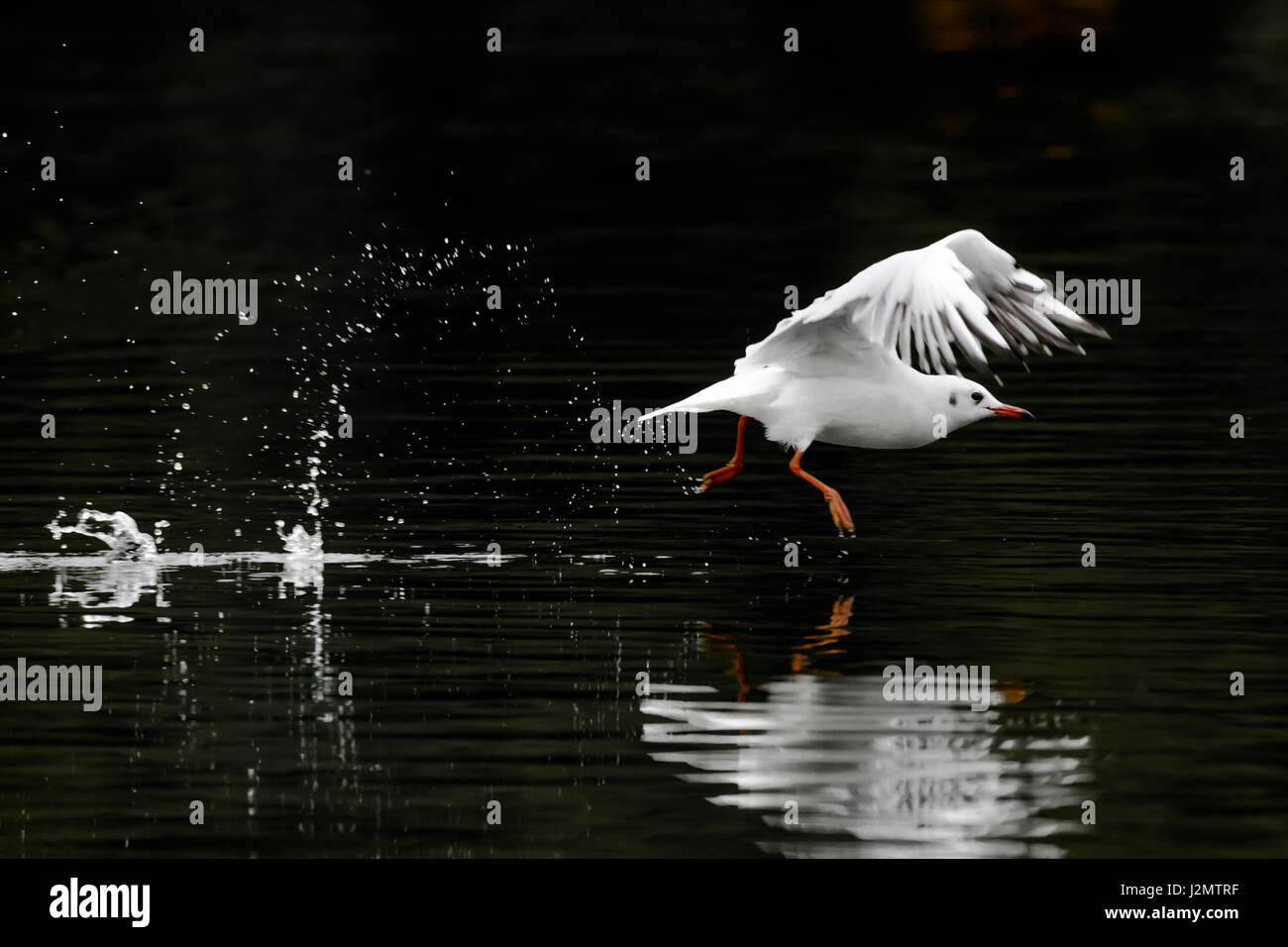 Black-headed gull (Chroicocephalus ridibundus) in winter plumage,  taking off from water against dark background Stock Photo