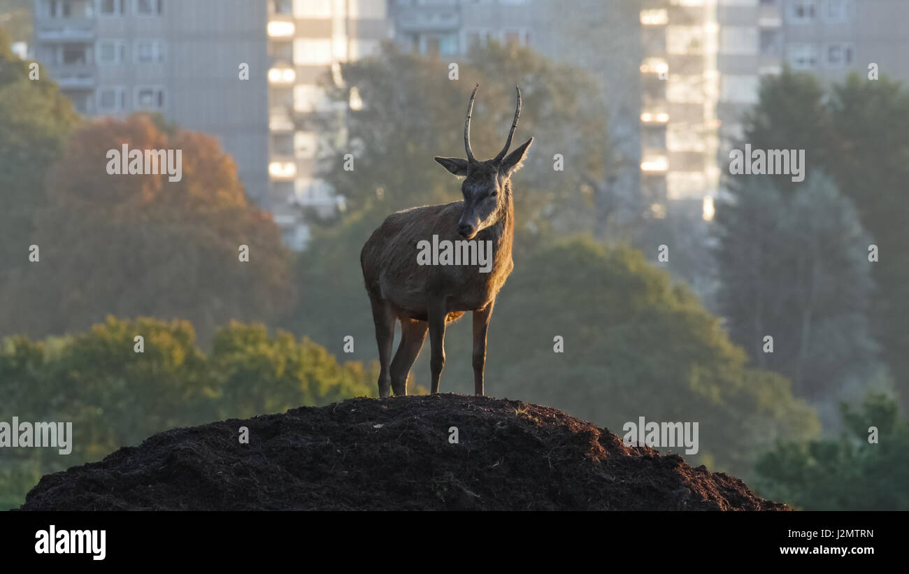 Red Deer buck or pricket (Cervus elaphus) on a mound of earth with urban hirise high rise hi-rise buildings behind - Stock Image