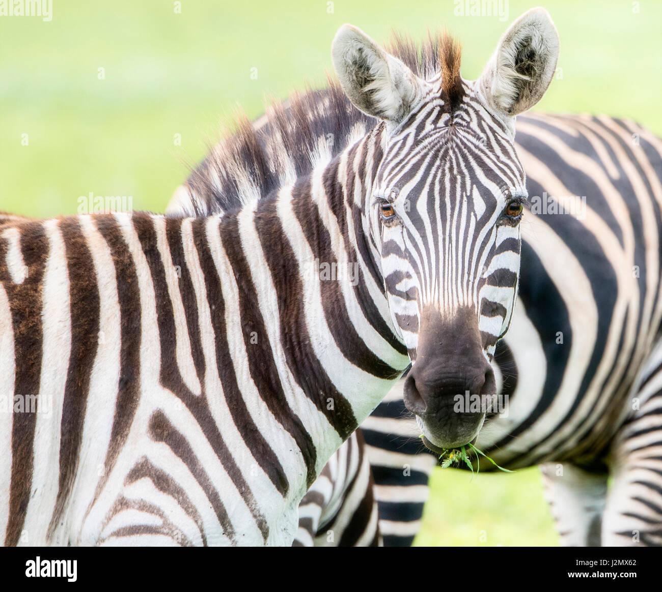 Wild Burchell's Zebra on the Serengeti in Tanzania - Stock Image