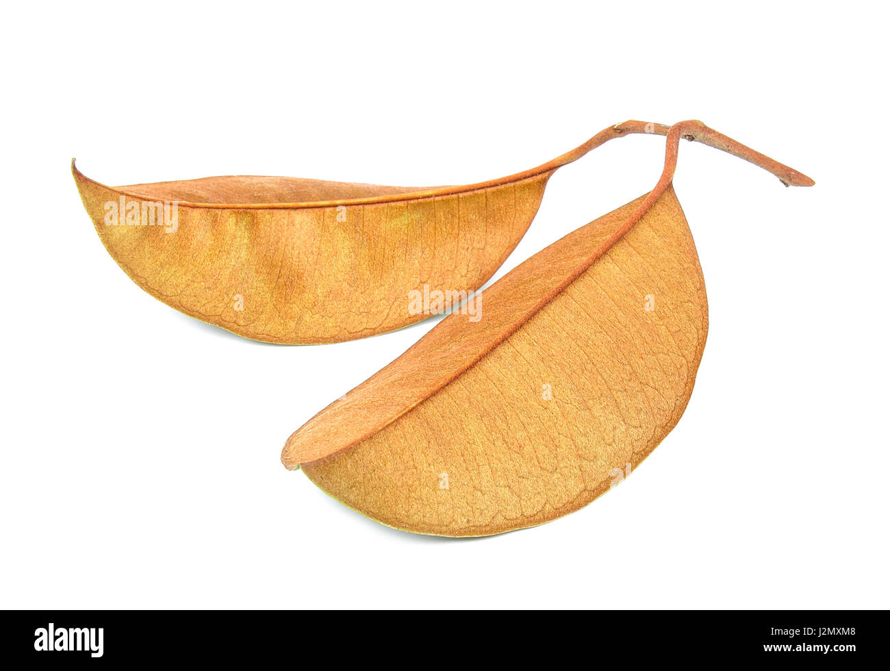 Brown leaf isolated on the white background. - Stock Image