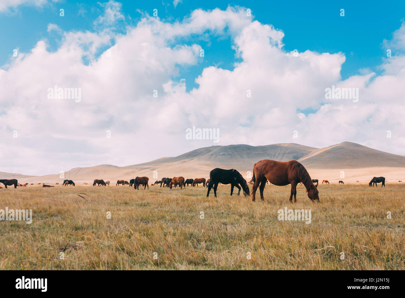A herd of hores feeding in the grassland against hills and mountains, inner mongolia,China - Stock Image