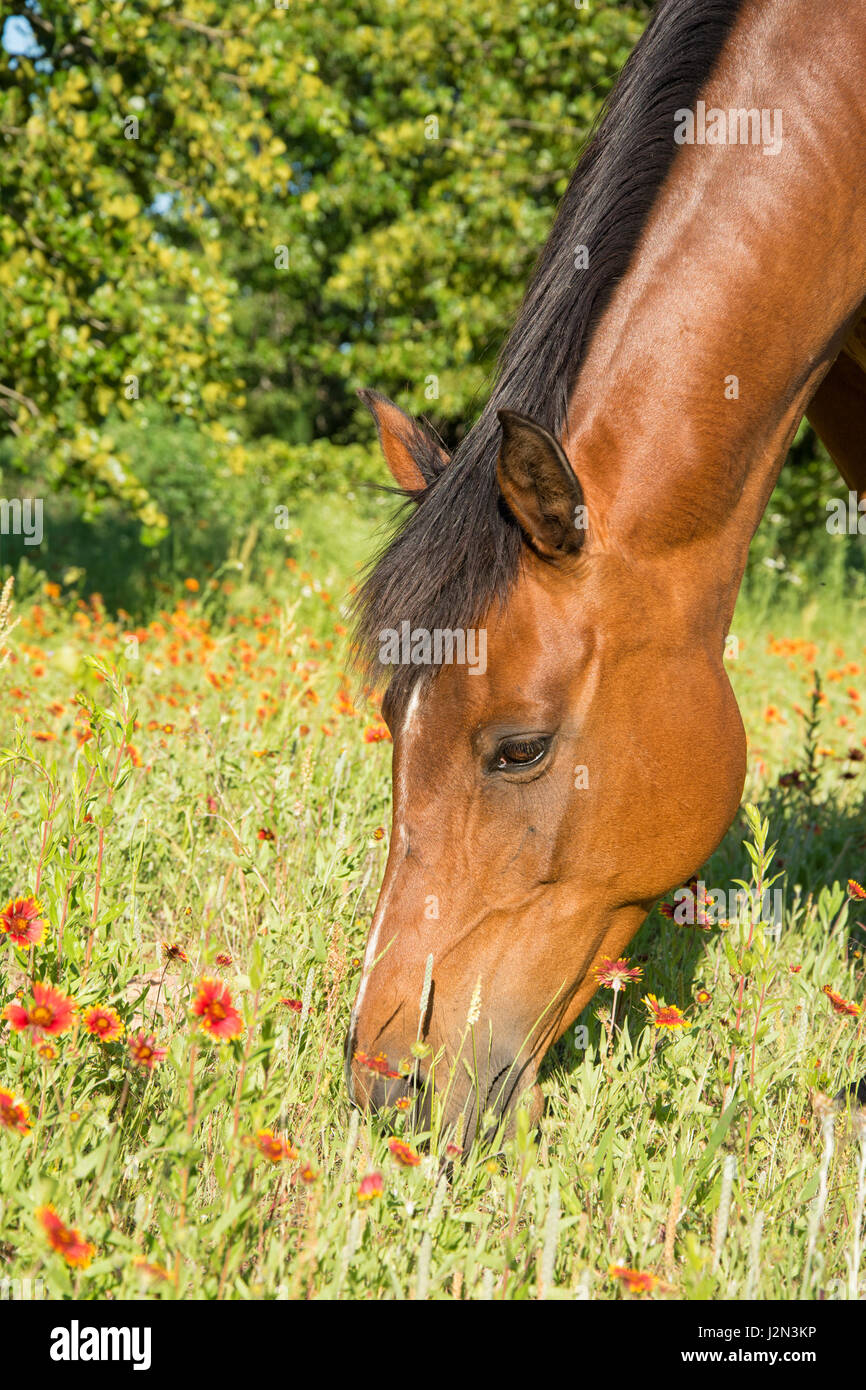 Closeup of a bay horse's head with red wild flowers - Stock Image