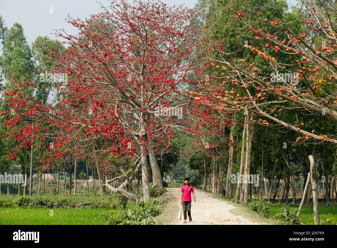 Red silk cotton flower trees also known as bombax ceiba shimul both red silk cotton flower trees also known as bombax ceiba shimul both sides of a road dhaka bangladesh mightylinksfo