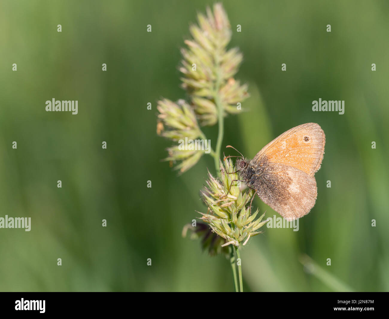 Small Heath, Coenonympha pamphilus - Stock Image