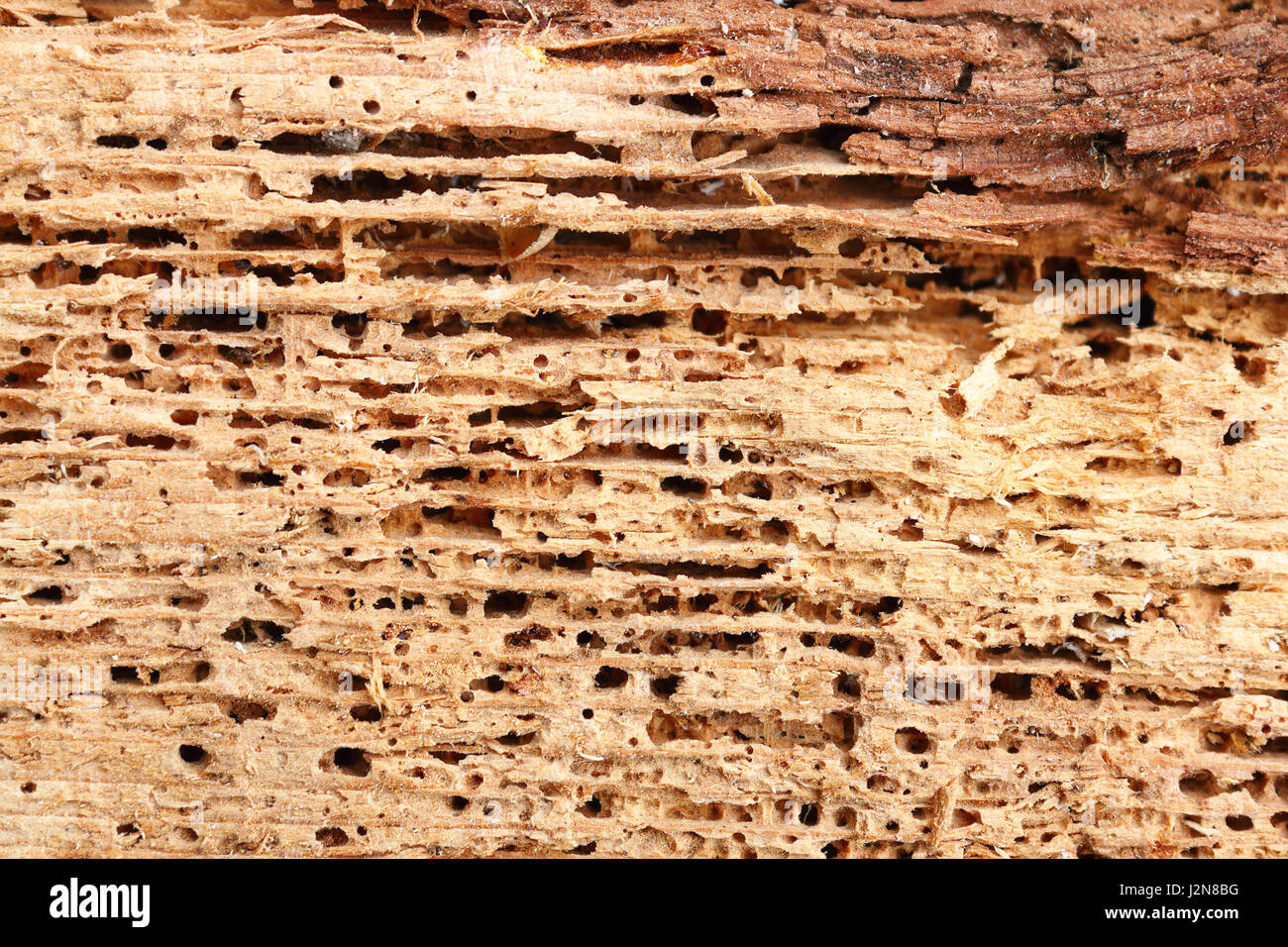 detail of fir wood damaged by fungus and insects, wood boring beetle - Stock Image