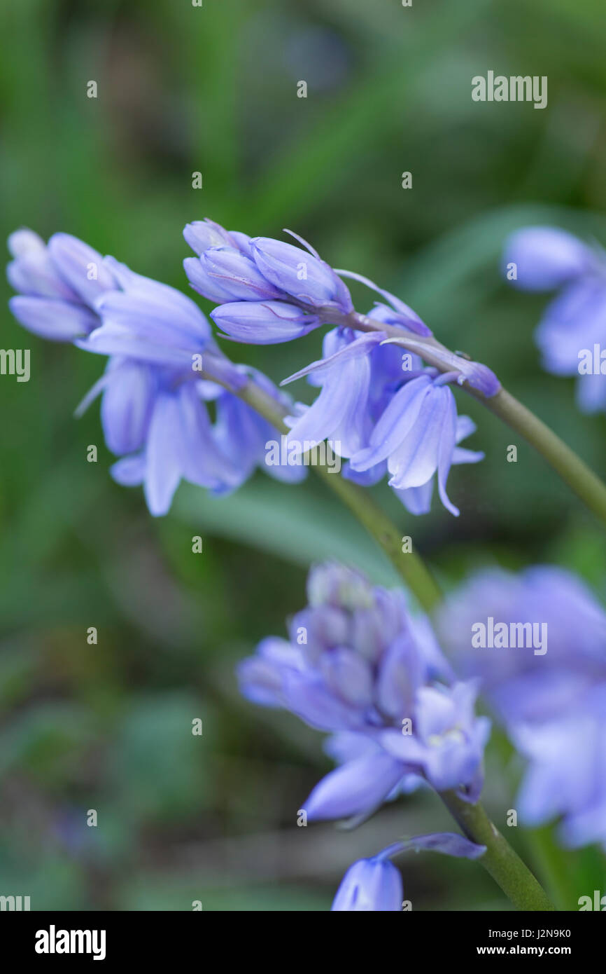 Spanish bluebells Stock Photo