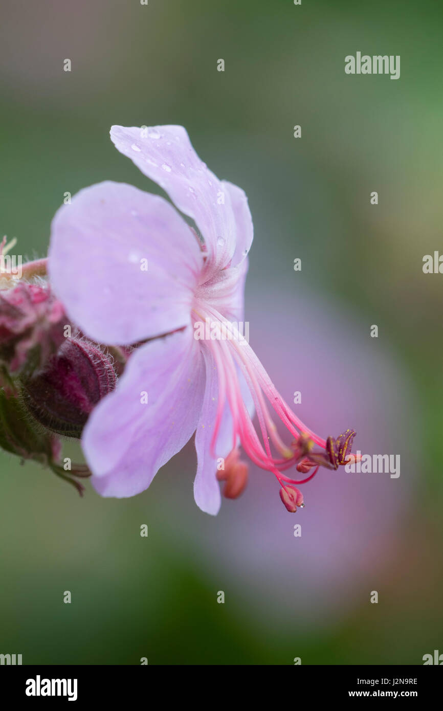 Close up of a flower of the Balkan cranesbill, Geranium macrorrhizum 'Ingwersen's Variety' - Stock Image