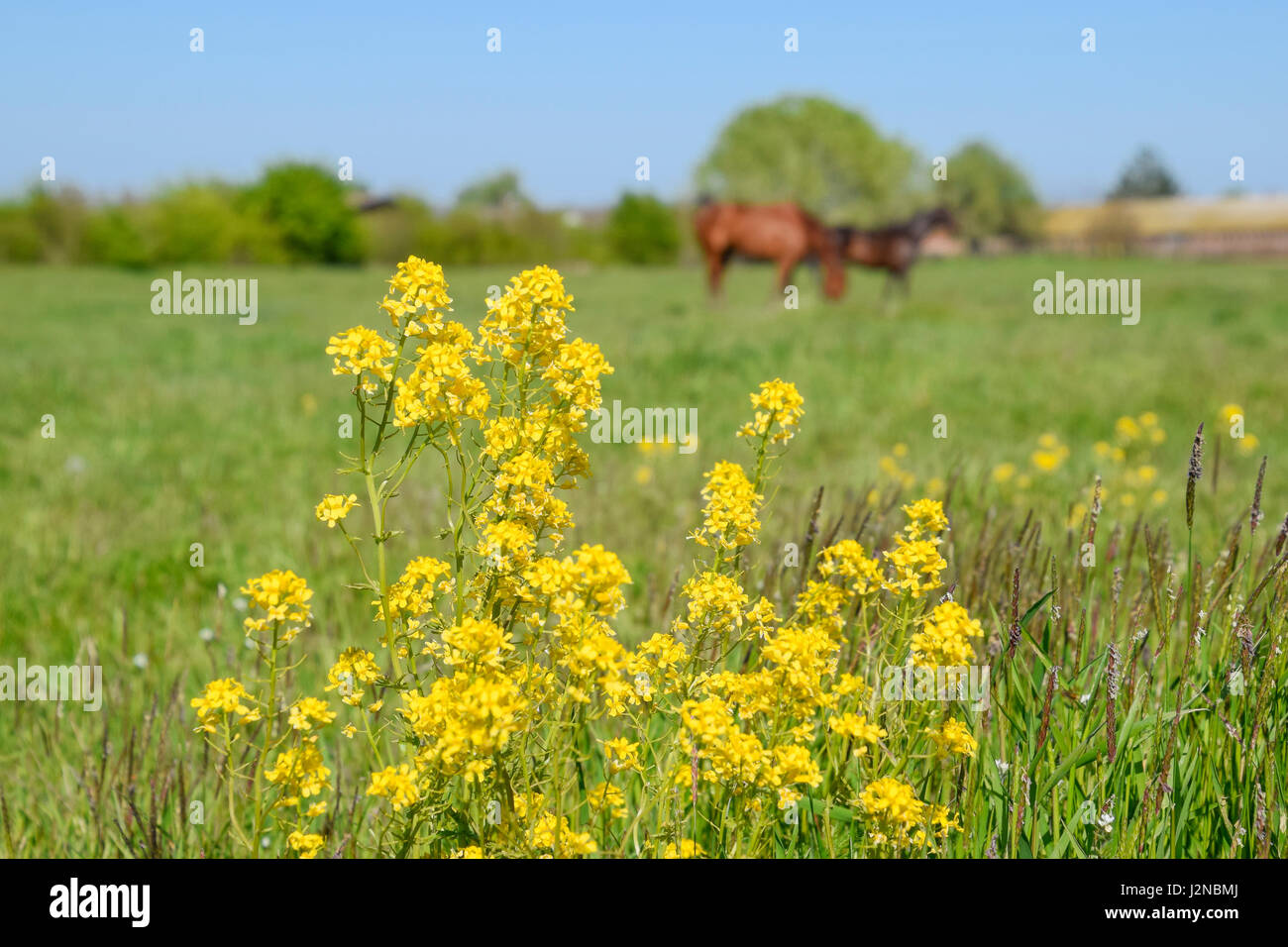 Horses On The Grass In The Pasture Yellow Flowers On A Horse Stock