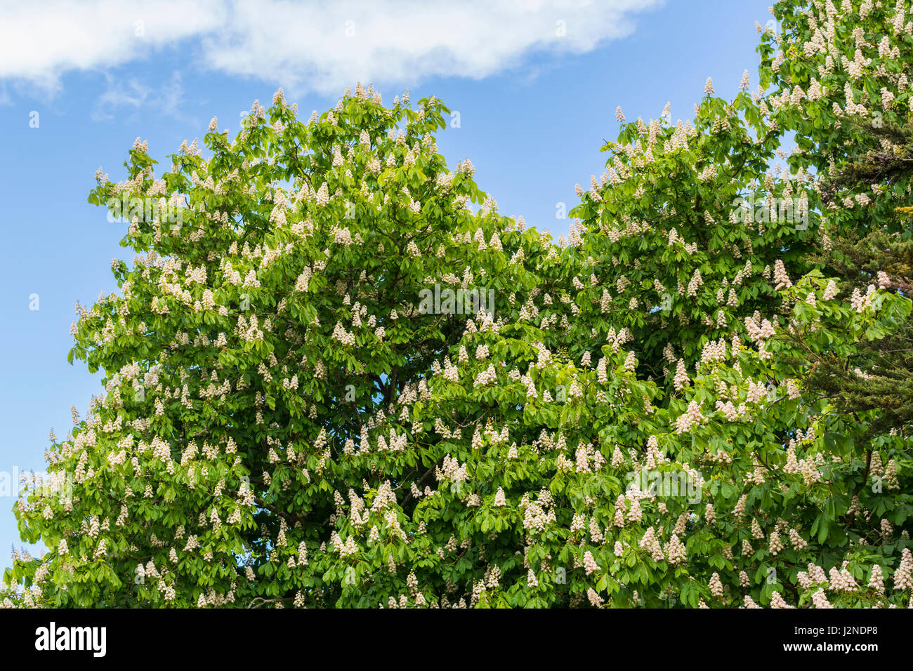 Top of a Horse Chestnut tree (Aesculus hippocastanum), AKA a Conker tree, .in Spring in the UK. - Stock Image