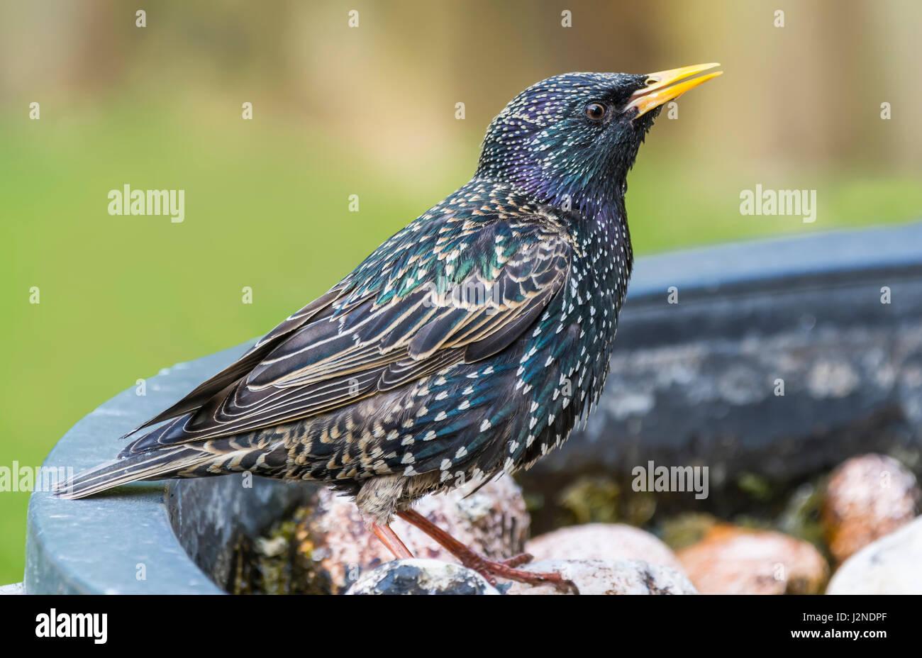 Adult female Common Starling (Sturnus vulgaris) bird in Summer plumage in Spring in West Sussex, England, UK. Stock Photo