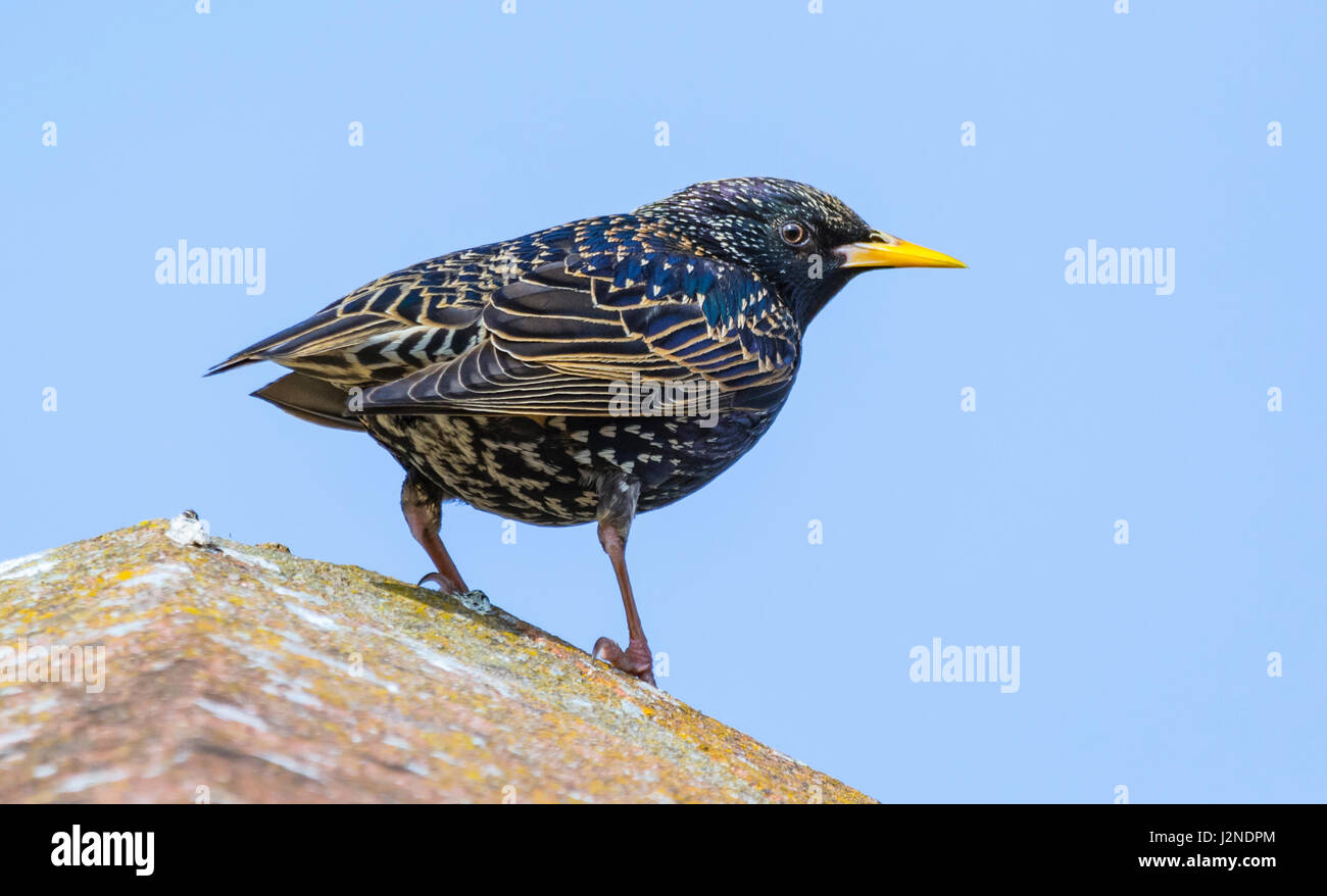 Adult female Common Starling (Sturnus vulgaris) bird in Summer plumage in Spring perched in West Sussex, England, Stock Photo