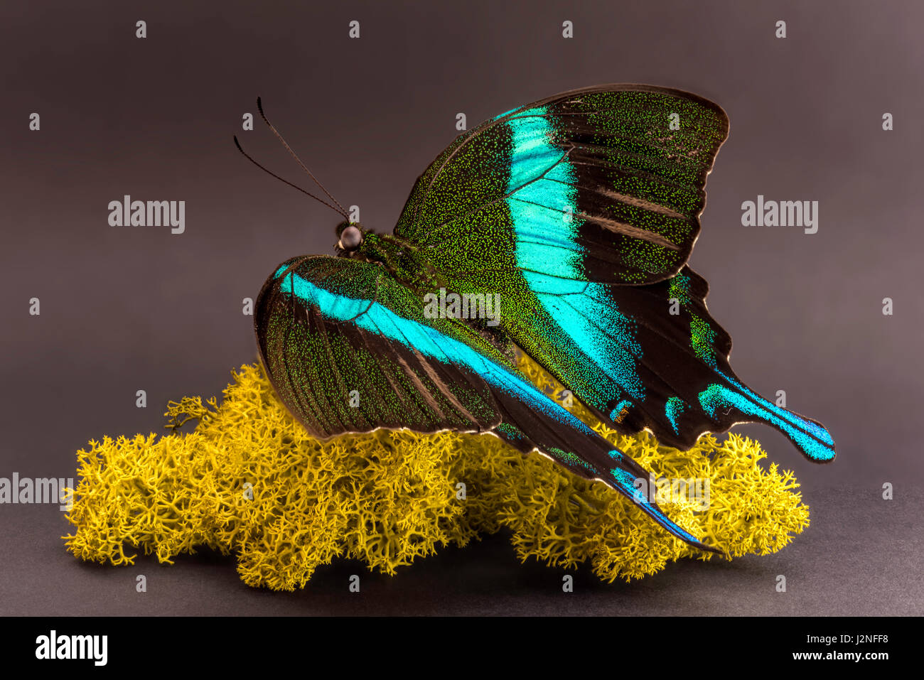 Sulawesi Peacock Butterfly (Papilio blumei) specimen set on Finnish moss, spot lit and isolated against studio background. - Stock Image