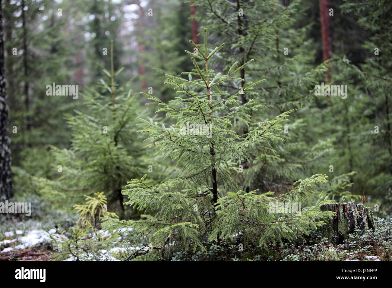 Small green spruce winter forest - Stock Image