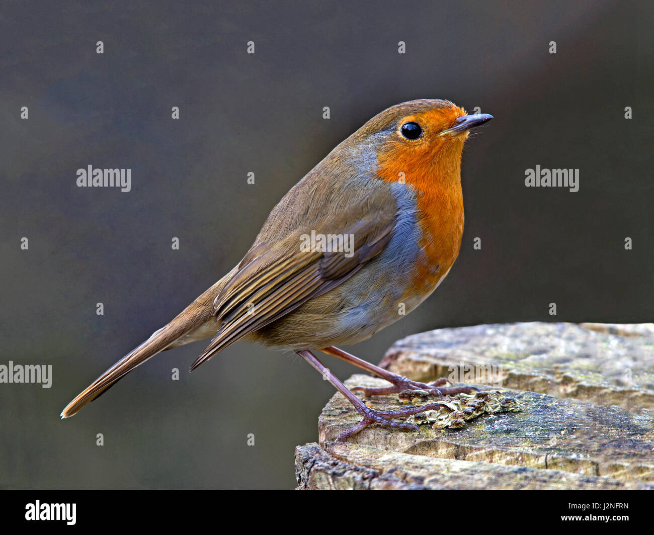 European robin perched - Stock Image