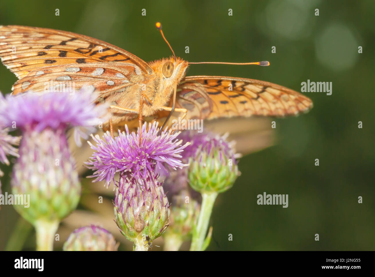 A fritillary butterfly nectaring from Canada thistle flowers, Cirsium arvense. - Stock Image