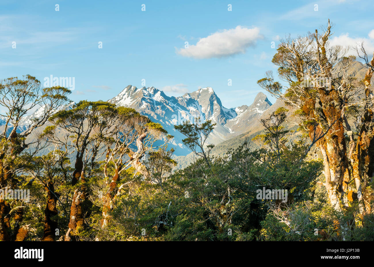 Tropical trees in front of snowy Ailsa Mountains, Key Summit Track, Fiordland National Park, Southland Region, New Stock Photo