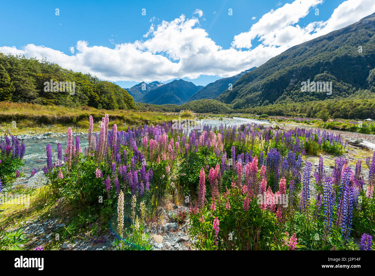 Purple Large-leaved lupines (Lupinus polyphyllus) on a river, Eglington River, Earl Mountains, Fiordland National Stock Photo