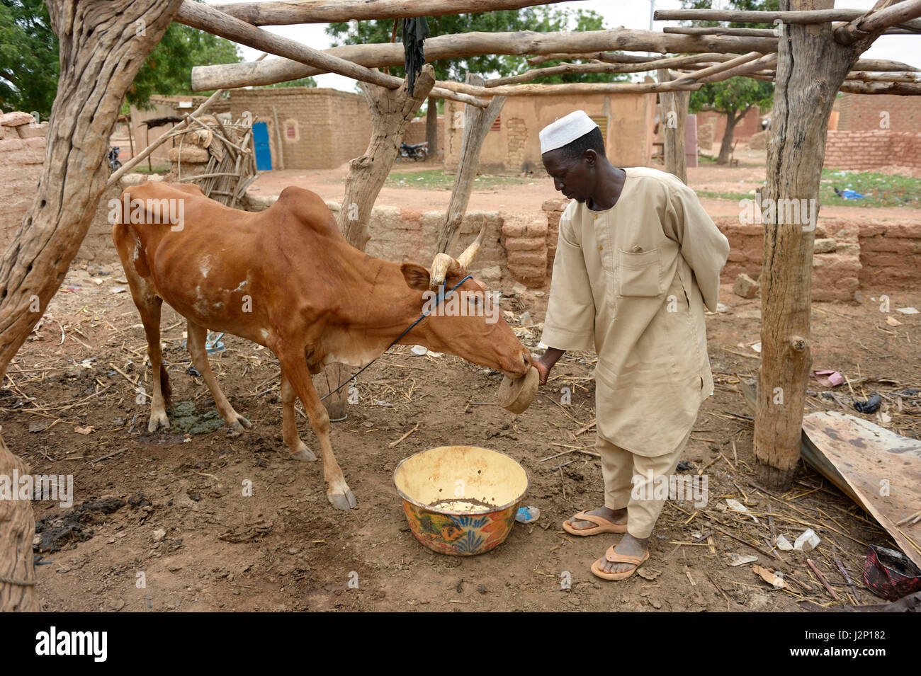 Farmer letting beef lick on a stone with minerals and salt, Toeghin village, Oubritenga province, Plateau Central - Stock Image