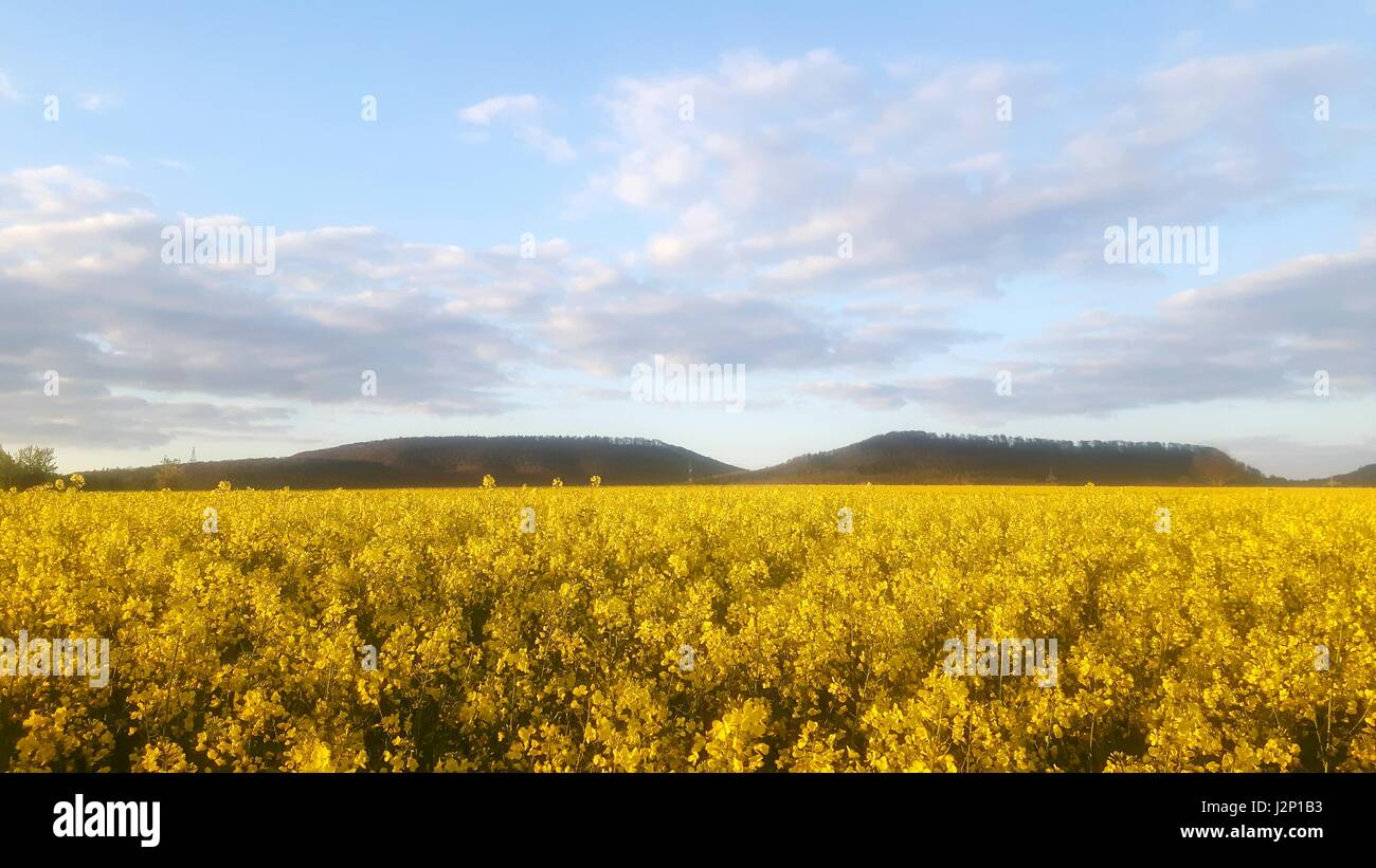 Rapeseed field in full bloom near Hessisch Oldendorf, Germany, in the Weserbergland. - Stock Image