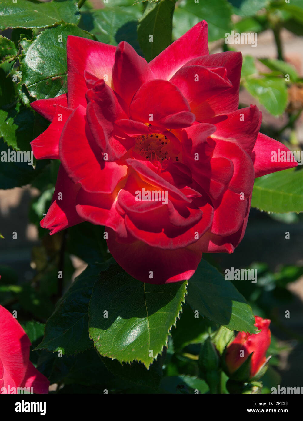 Rosa Ruby Wedding is a tea-rose with deep ruby-red blooms with velvety texturre - Stock Image