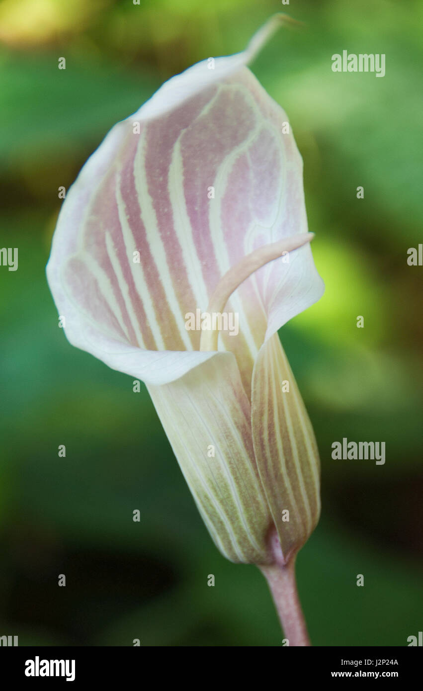 Arisaema candidissimum or striped cobra lily belongs to the Arum family and is pinkish or greenish white or cream, - Stock Image