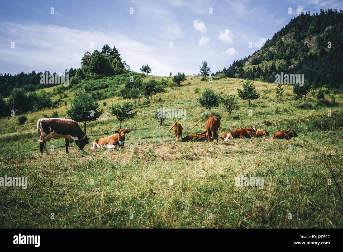 Cow herd on a hill in the Pieniny mountains in Poland. - Stock Image
