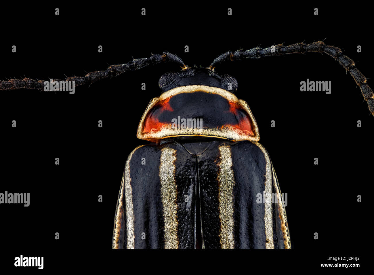 x4 magnification extreme macro of a Ten-Lined June Beetle. - Stock Image
