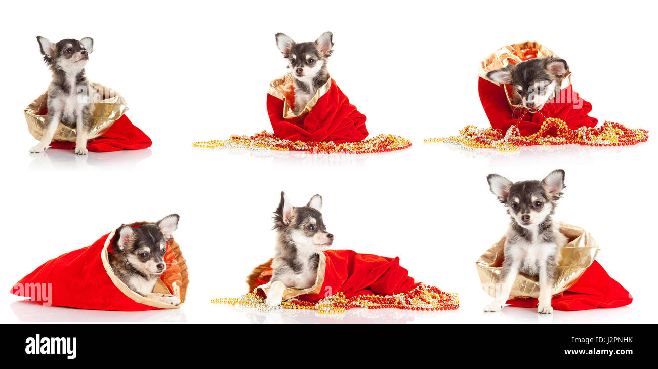 Merry Christmas Puppies.Merry Christmas And Happy New Year Set Of Chihuahua Puppies