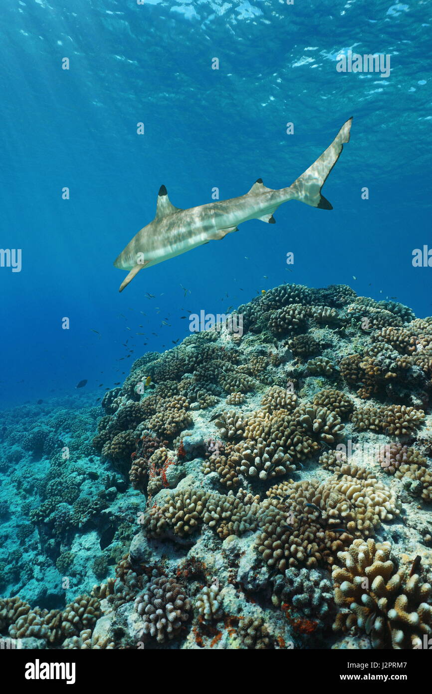 Corals with a blacktip reef shark underwater on the outer reef of Huahine island, Pacific ocean, French Polynesia - Stock Image