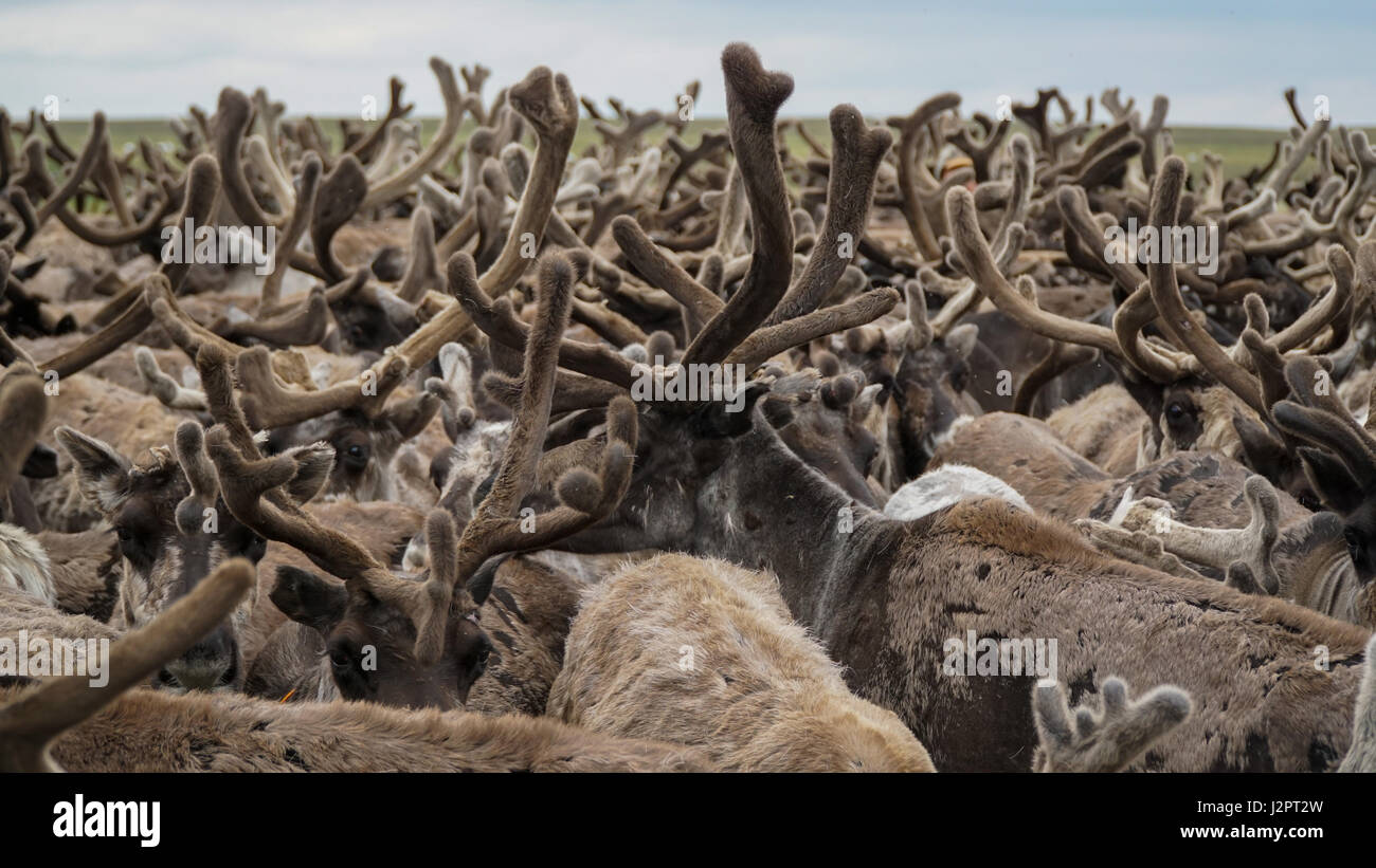 A herd of reindeer, closely standing in the paddock. The Yamal Peninsula. Summer time. - Stock Image