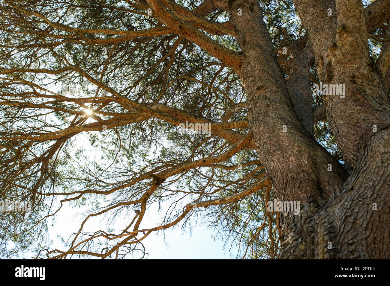 Under Aleppo pine tree, looking up towards the sun producing a flare - Stock Image
