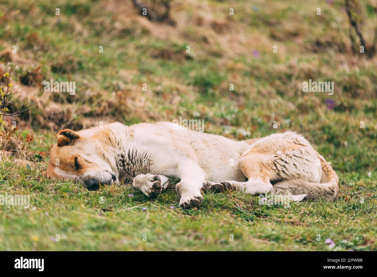 Central Asian Shepherd Dog Sleeping Outdoor In Mountains Of Caucasus. Alabai - An Ancient Breed From The Regions - Stock Image