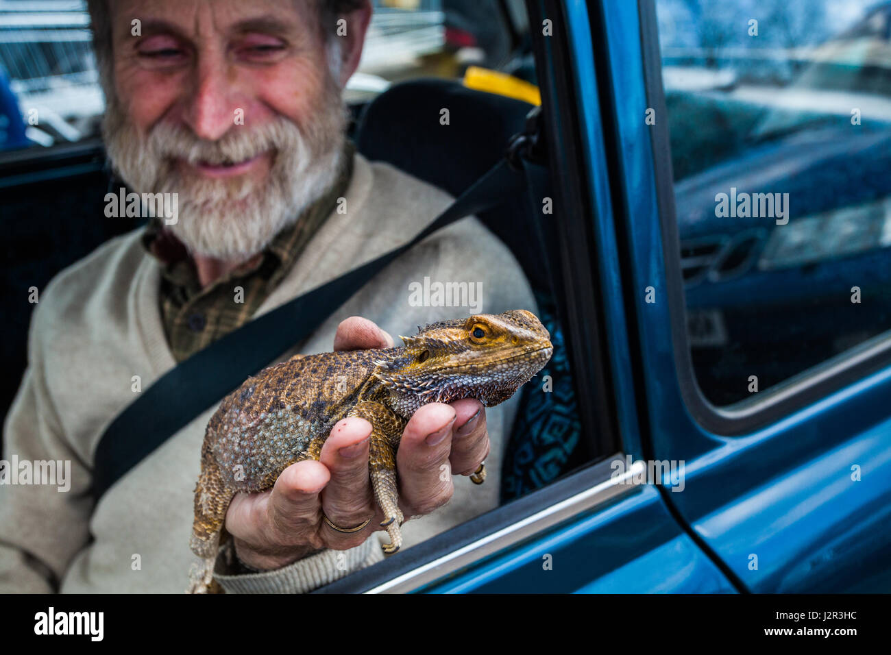 A man sat in a car holds a bearded dragon lizard in his hand - Stock Image
