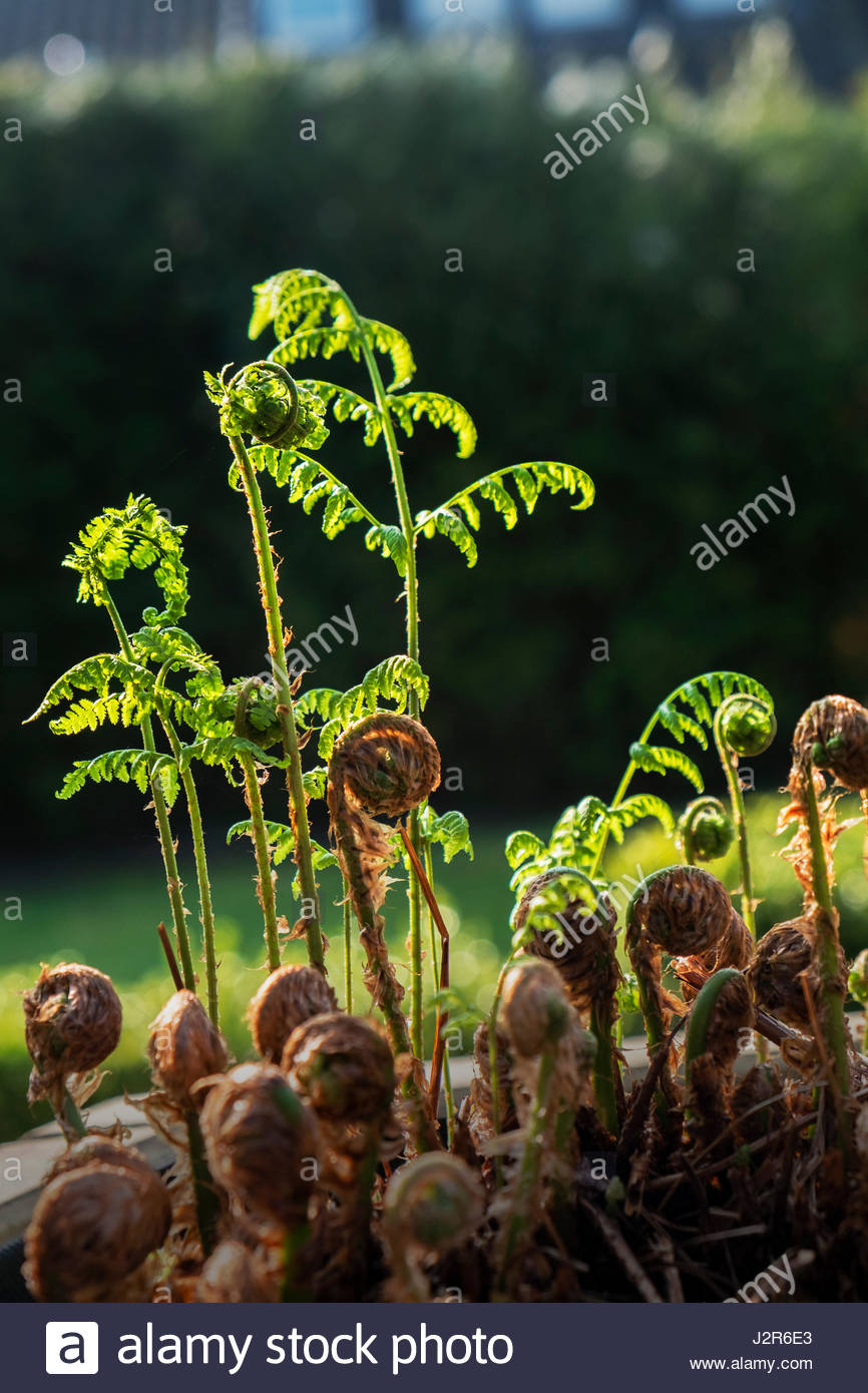 A fiddlehead fern (Matteuccia  struthiopteris) with young furled fronds in early spring - Stock Image