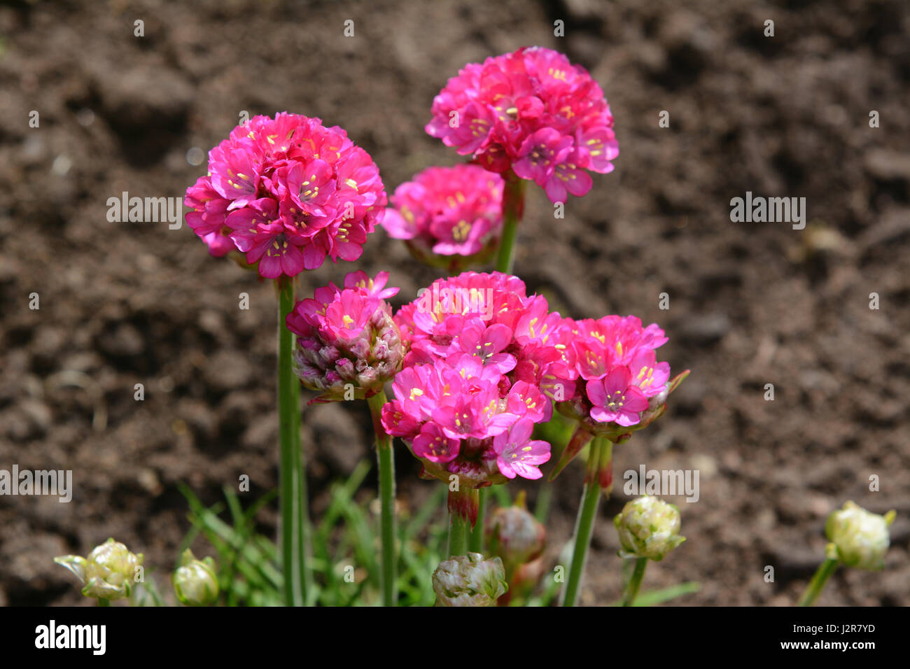 Bright Pink Flowers Of Armeria Also Known As Ladys Cushion Thrift