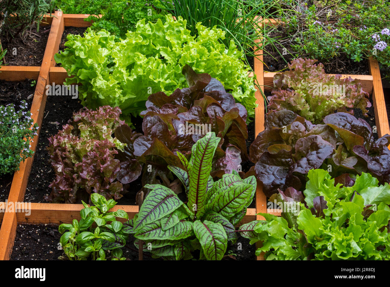 Square foot garden showing different species of lettuce, herbs and vegetables in wooden box - Stock Image