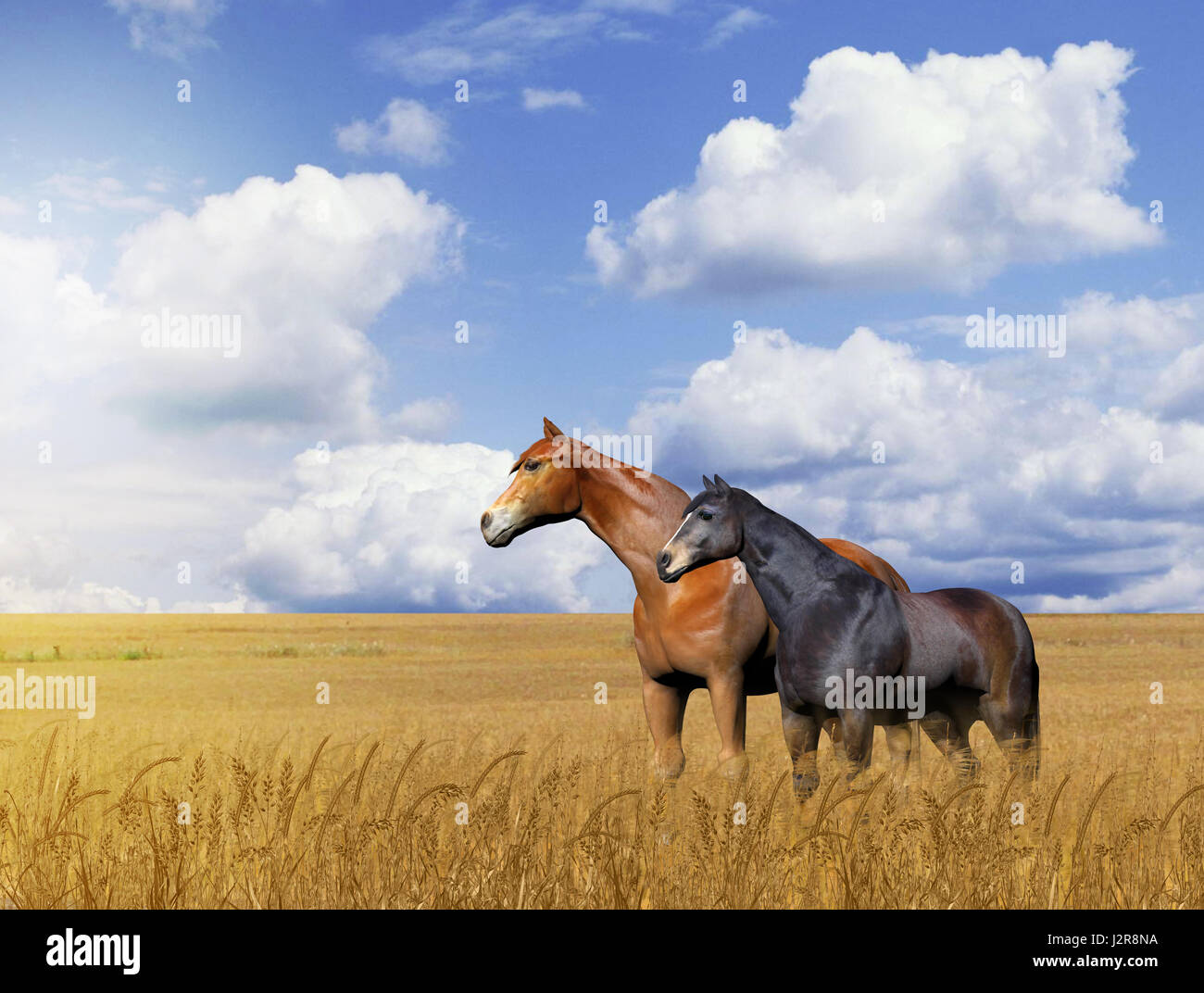 3D painting of a beautiful horses standing in a golden wheat field against a cloudy sky. - Stock Image