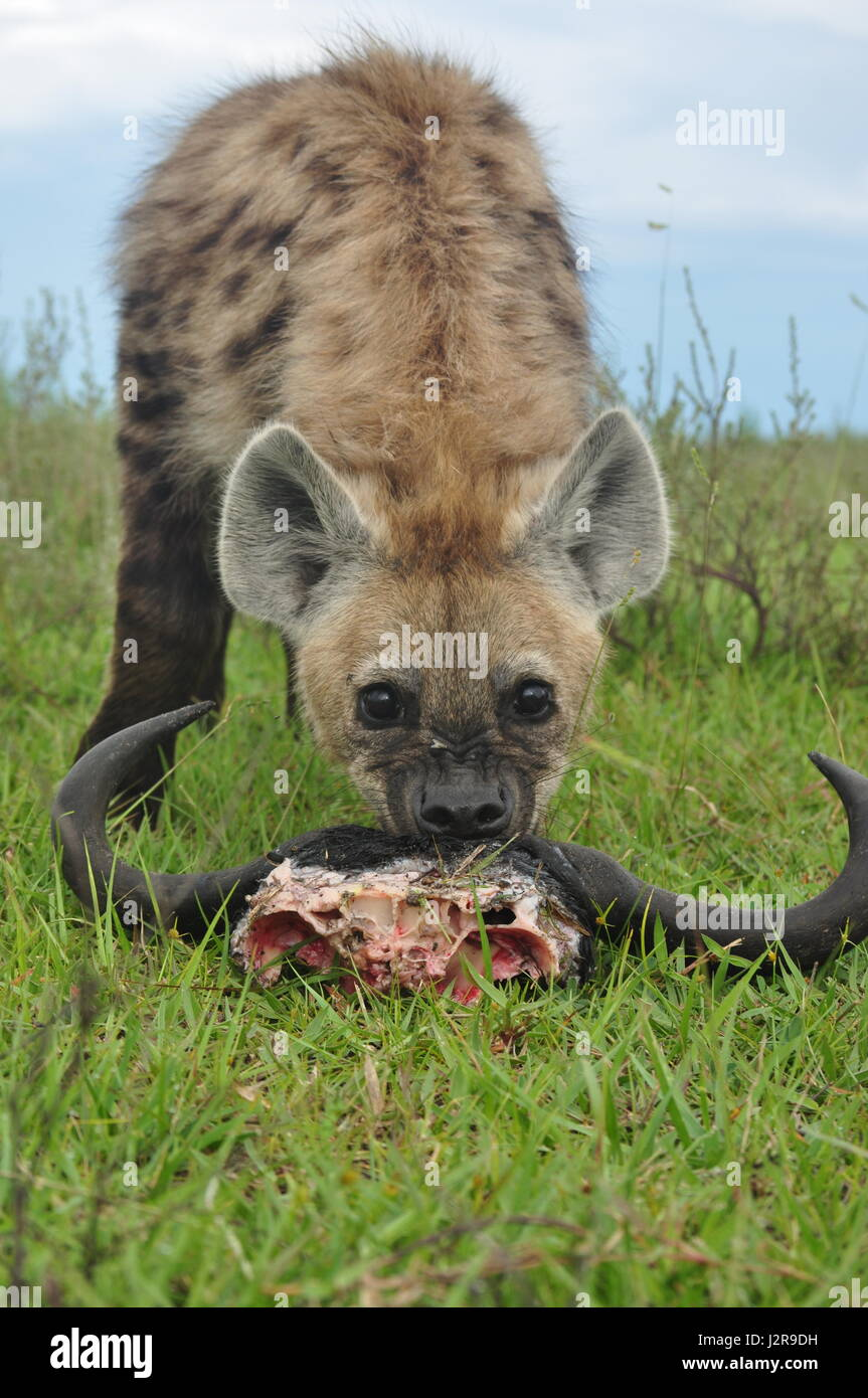 A young hyena feeding on the ramains of a wildebeest kill in Zambia Stock Photo